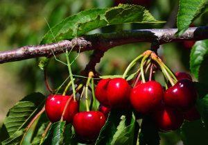 insecto-palo-cerezas
