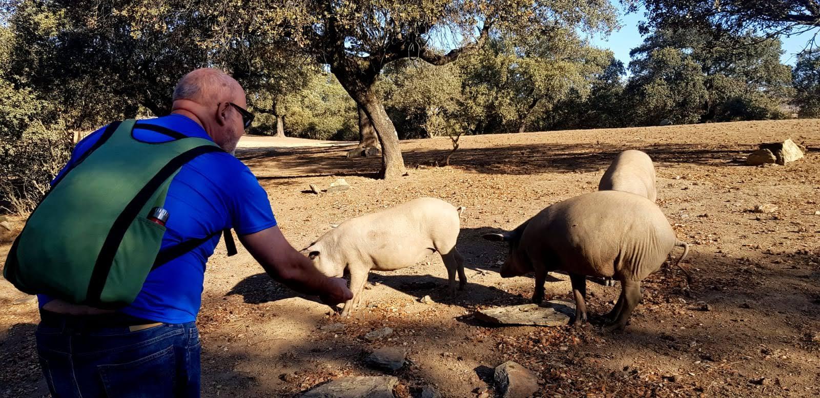 Señor dando comida a los cerdos en la Ruta del Jamón