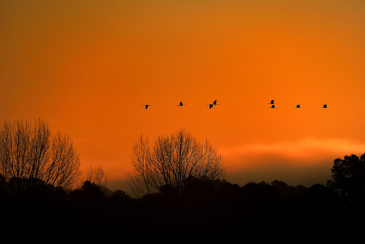Grullas volando en el amanecer