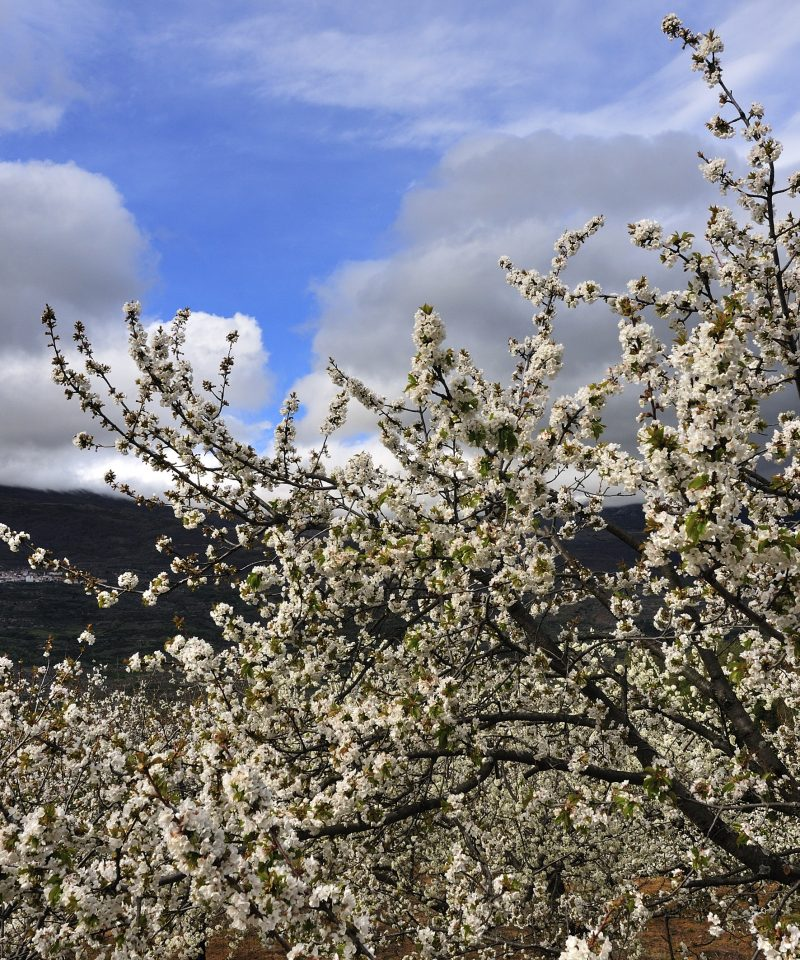 Floración cerezos