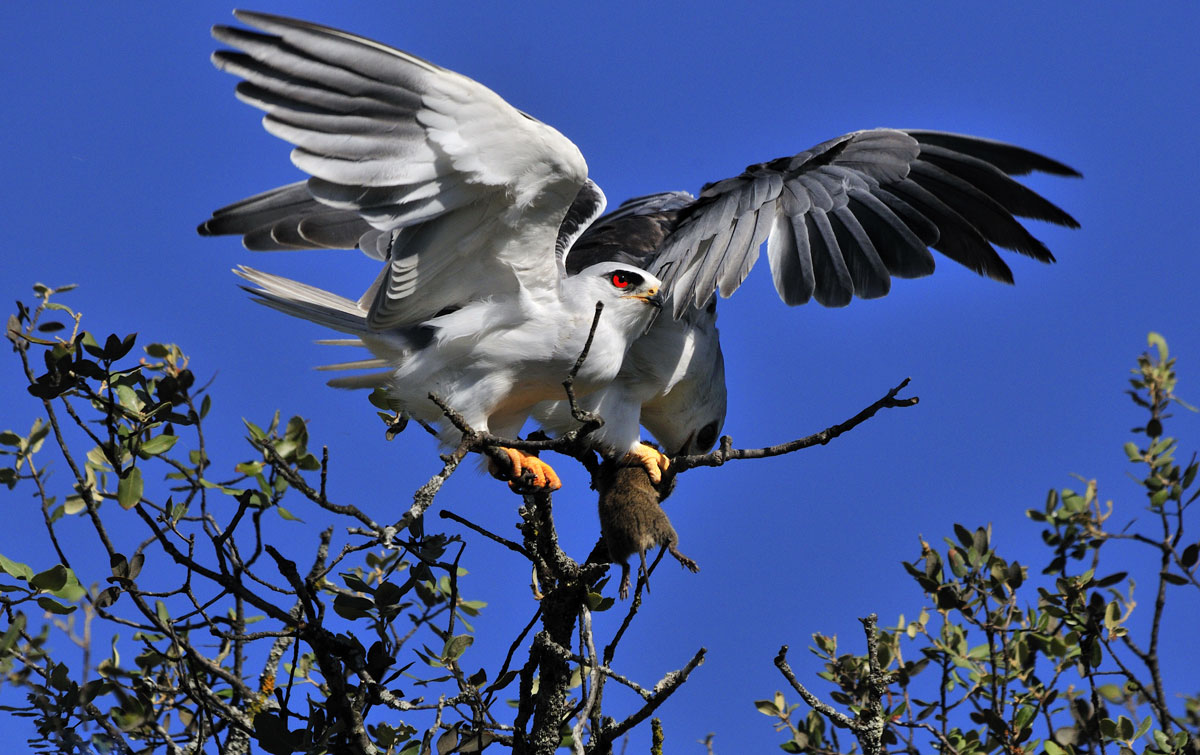 Elanio echando a volar