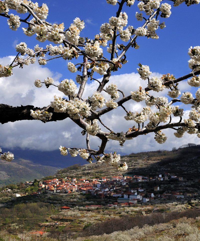 Floración en el Valle del Jerte