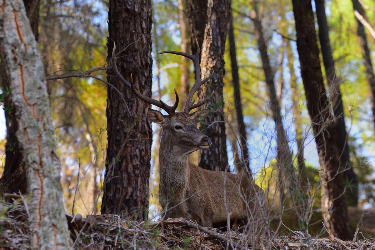 Ciervo macho en el pinar