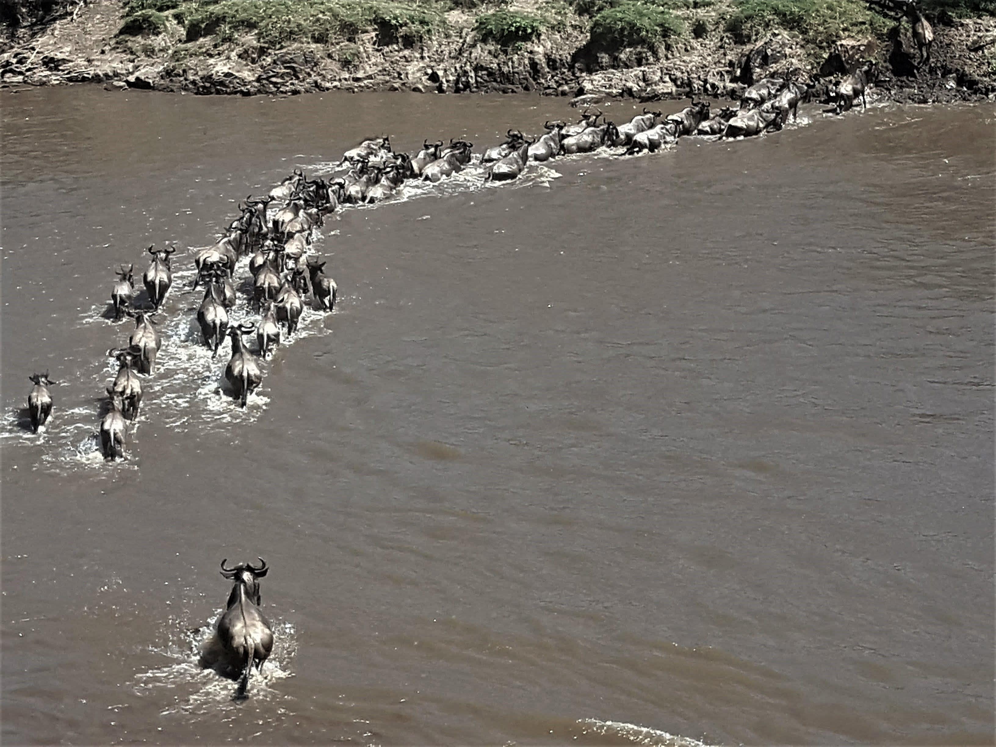 Animales cruzando el Río Mara