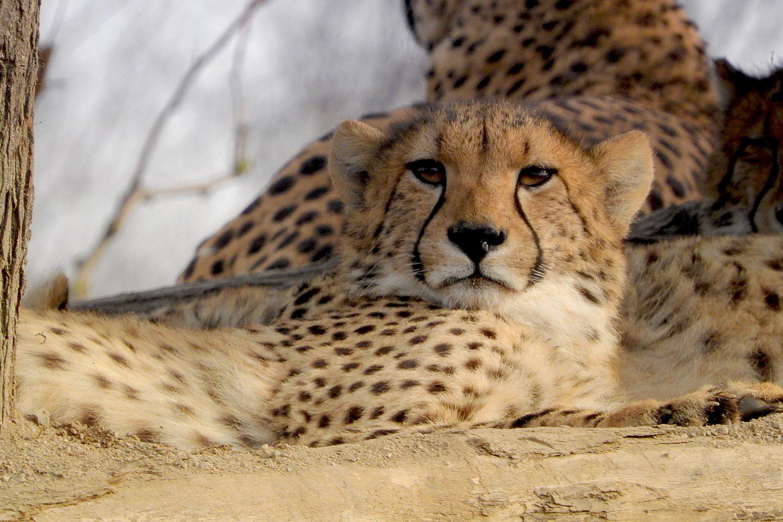 Guepardo Tanzania