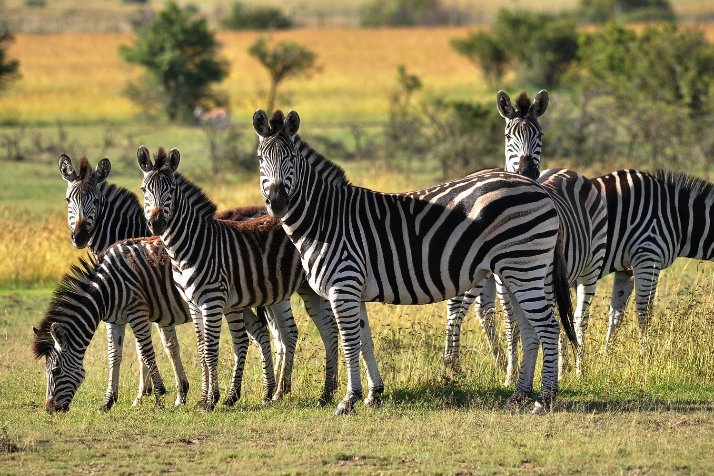 Cebras Tanzania