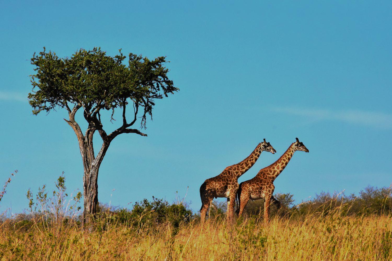 Jirafas Tanzania