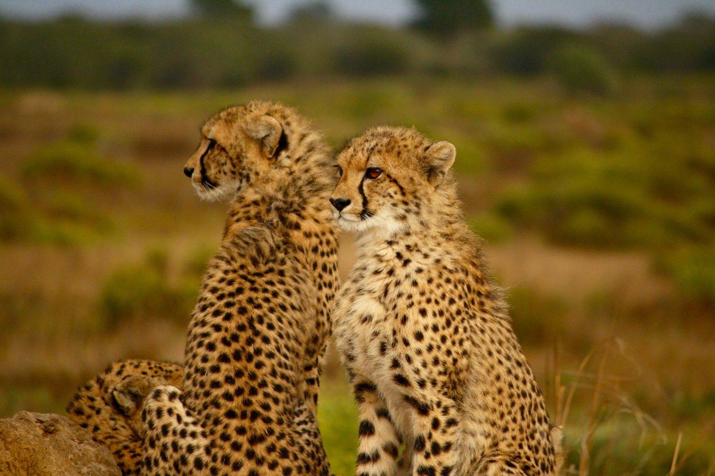 Leopardos Tanzania