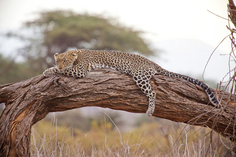 Leopardo en árbol Tanzania