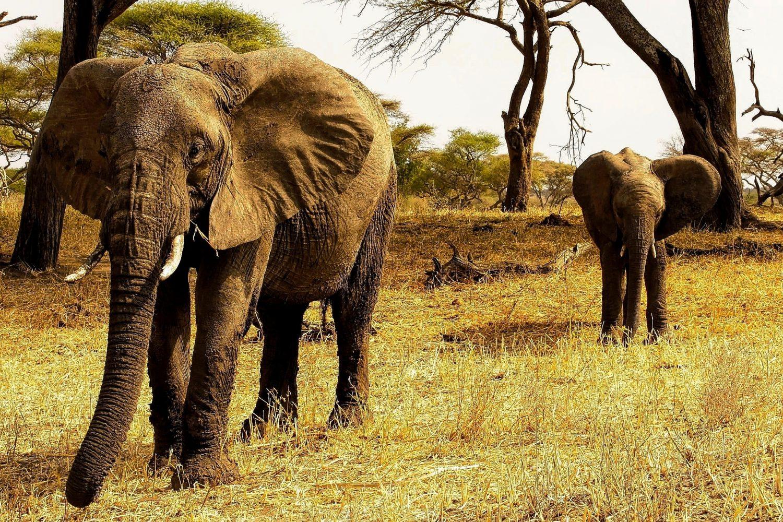 Elefantes Tanzania