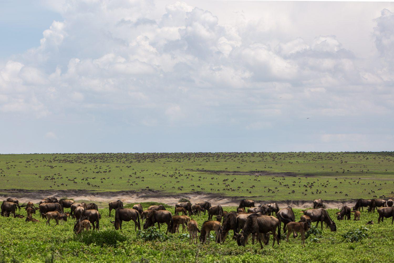 Ñus Tanzania