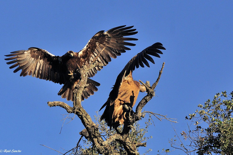 Águila imperial aterrizando