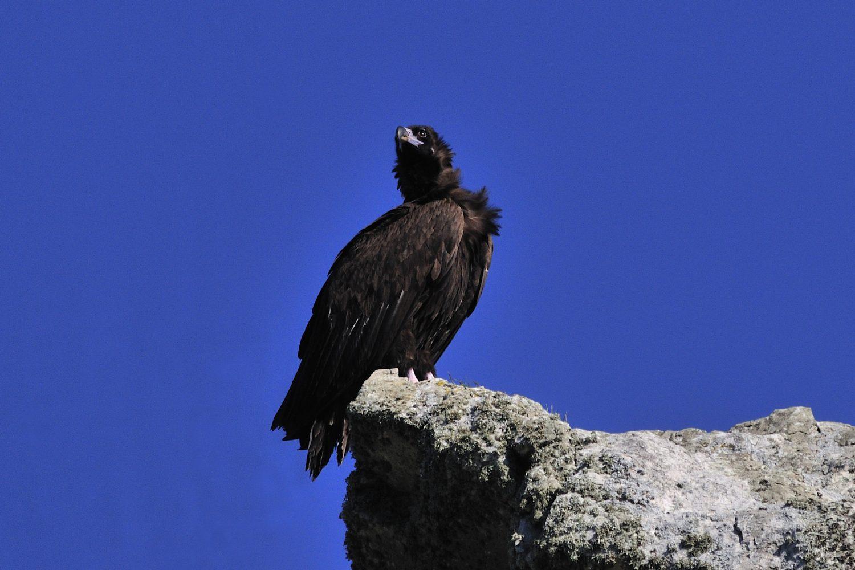 buitre negro roca