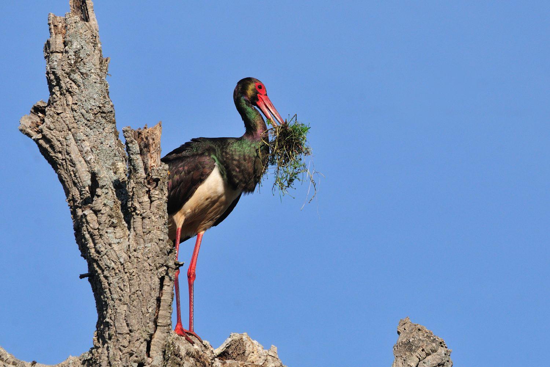 Cigüeña negra con hierba en el pico posada en un árbol